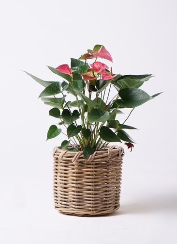 観葉植物 アンスリウム 6号 ピンクチャンピオン グレイラタン 付き