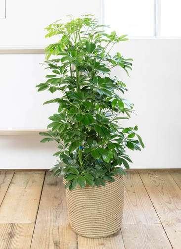 観葉植物 カポック(シェフレラ) 8号 ノーマル リブバスケットNatural 付き