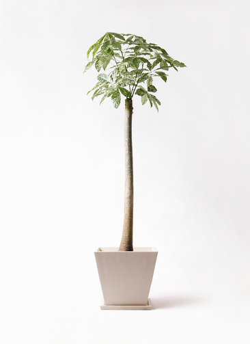 観葉植物 パキラ 10号 朴 斑入り パウダーストーン 白 付き