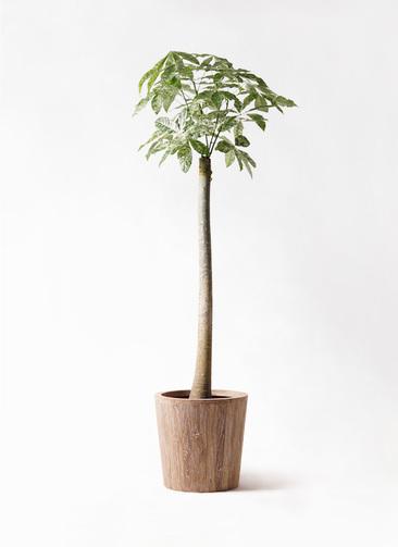 観葉植物 パキラ 10号 朴 斑入り ウッドプランター 付き