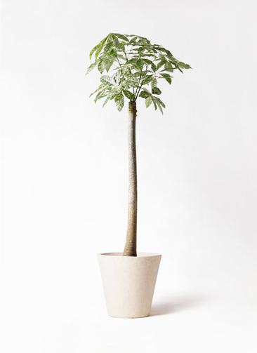 観葉植物 パキラ 10号 朴 斑入り フォリオソリッド クリーム 付き