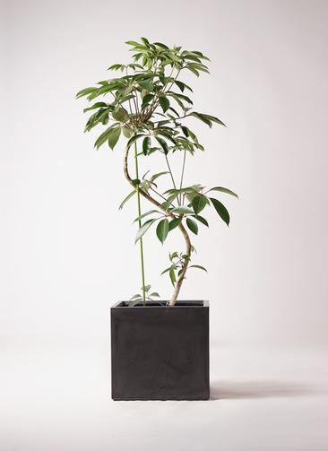 観葉植物 ツピダンサス 10号 曲り ファイバークレイ キューブ 付き