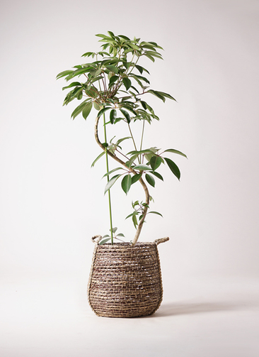 観葉植物 ツピダンサス 10号 曲り リゲル 茶 付き