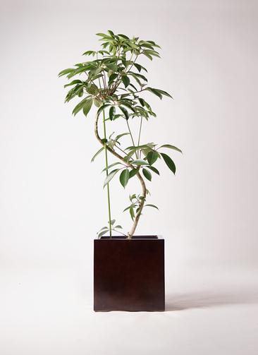 観葉植物 ツピダンサス 10号 曲り MOKU キューブ 付き