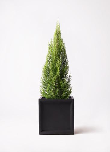 観葉植物 ゴールドクレスト 10号 ノーマル ブリティッシュキューブ 付き