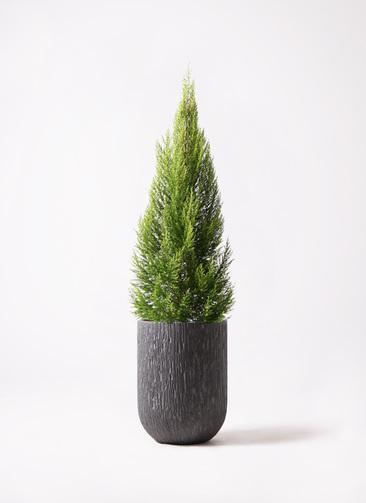 観葉植物 ゴールドクレスト 10号 ノーマル カルディナトールダークグレイ 付き