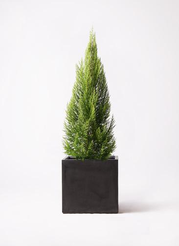 観葉植物 ゴールドクレスト 10号 ノーマル ファイバークレイ キューブ 付き