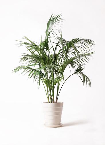 観葉植物 ケンチャヤシ 10号 サバトリア 白 付き