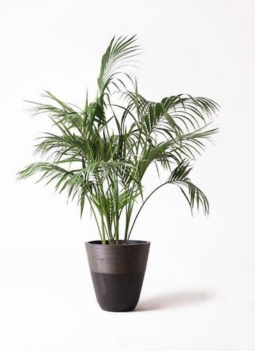観葉植物 ケンチャヤシ 10号 ジュピター 黒 付き