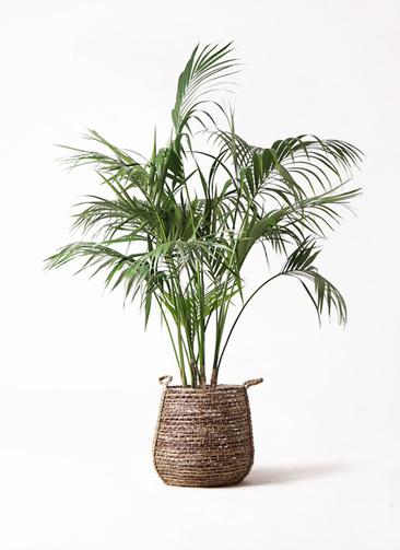 観葉植物 ケンチャヤシ 10号 リゲル 茶 付き