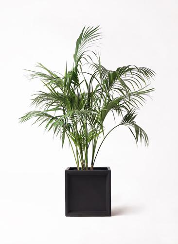 観葉植物 ケンチャヤシ 10号 ブリティッシュキューブ 付き