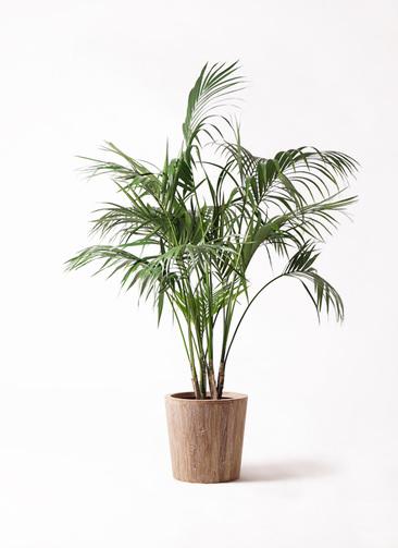 観葉植物 ケンチャヤシ 10号 ウッドプランター 付き