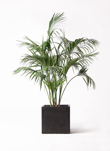 観葉植物 ケンチャヤシ 10号 ファイバークレイ キューブ 付き