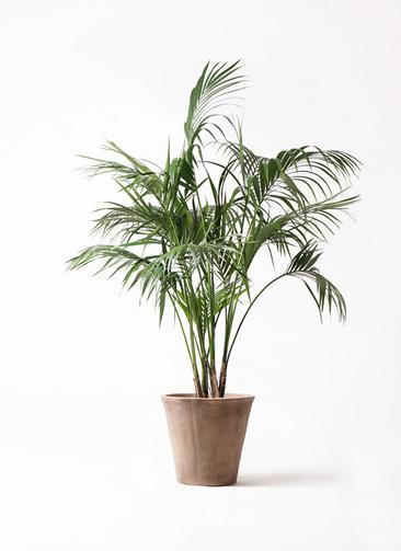 観葉植物 ケンチャヤシ 10号 ルーガ アンティコ ソリッド 付き