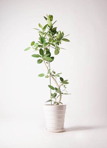 観葉植物 フィカス ベンガレンシス 10号 曲り サバトリア 白 付き