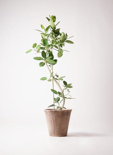 観葉植物 フィカス ベンガレンシス 10号 曲り ルーガ アンティコ ソリッド 付き