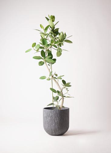 観葉植物 フィカス ベンガレンシス 10号 曲り カルディナダークグレイ 付き