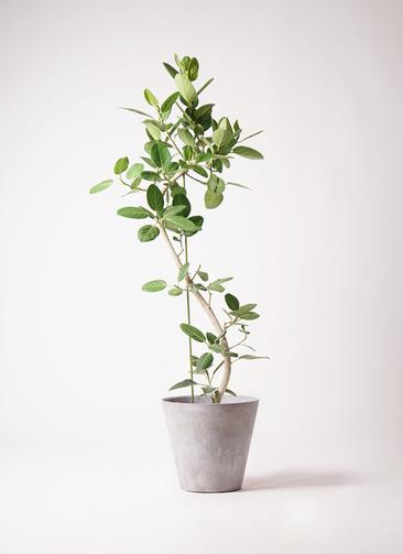 観葉植物 フィカス ベンガレンシス 10号 曲り アートストーン ラウンド グレー 付き
