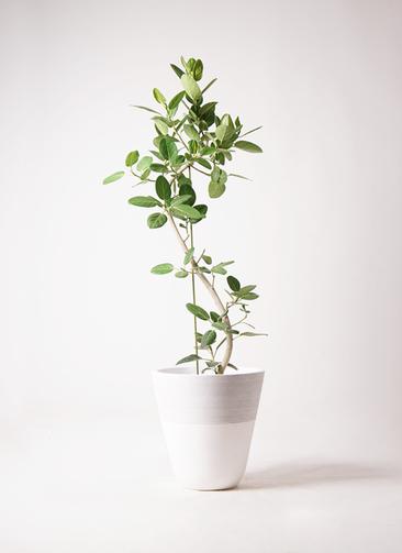 観葉植物 フィカス ベンガレンシス 10号 曲り ジュピター 白 付き