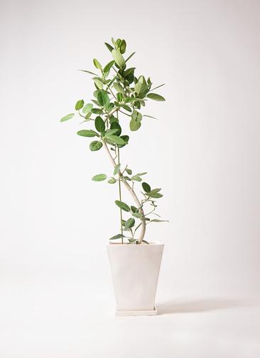 観葉植物 フィカス ベンガレンシス 10号 曲り スクエアハット 白 付き