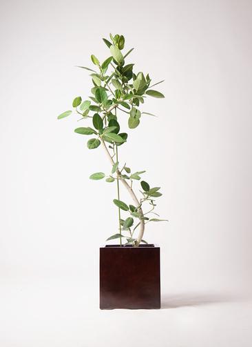 観葉植物 フィカス ベンガレンシス 10号 曲り MOKU キューブ 付き