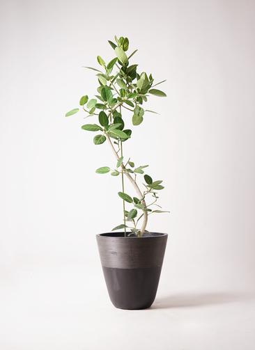 観葉植物 フィカス ベンガレンシス 10号 曲り ジュピター 黒 付き