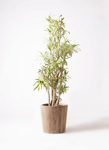 観葉植物 ドラセナ ソング オブ インディア 10号 ウッドプランター 付き