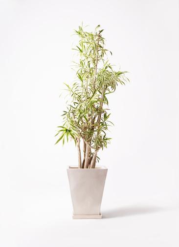 観葉植物 ドラセナ ソング オブ インディア 10号 スクエアハット 白 付き