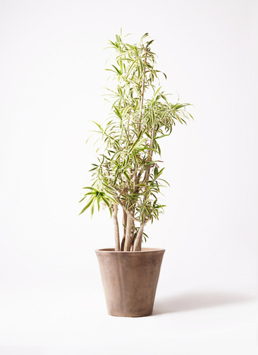 観葉植物 ドラセナ ソング オブ インディア 10号 ルーガ アンティコ ソリッド 付き