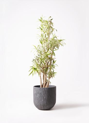 観葉植物 ドラセナ ソング オブ インディア 10号 カルディナダークグレイ 付き