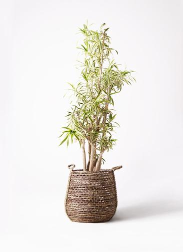 観葉植物 ドラセナ ソング オブ インディア 10号 リゲル 茶 付き