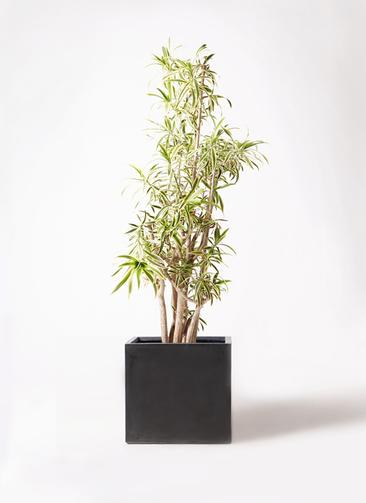 観葉植物 ドラセナ ソング オブ インディア 10号 ファイバークレイ キューブ 付き