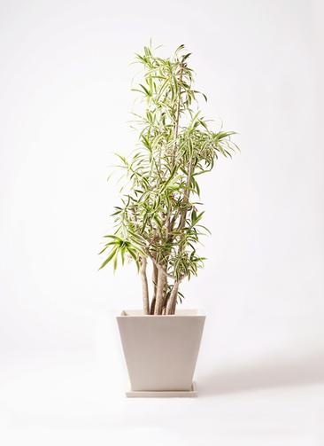 観葉植物 ドラセナ ソング オブ インディア 10号 パウダーストーン 白 付き