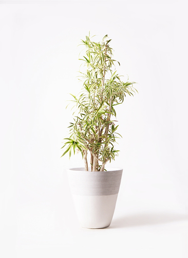 観葉植物 ドラセナ ソング オブ インディア 10号 ジュピター 白 付き