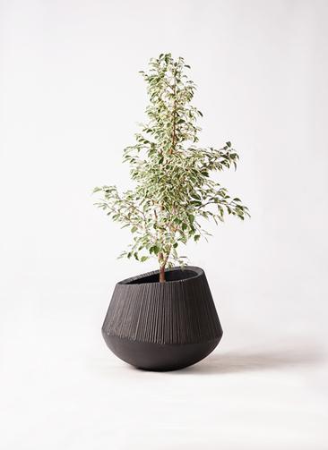 観葉植物 フィカス ベンジャミン 8号 スターライト エディラウンド 黒 付き