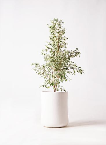 観葉植物 フィカス ベンジャミン 8号 スターライト バスク ミドル ホワイト 付き