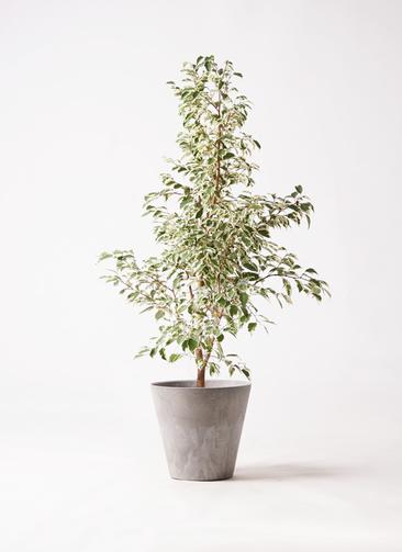観葉植物 フィカス ベンジャミン 8号 スターライト アートストーン ラウンド グレー 付き