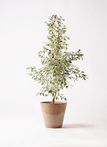 観葉植物 フィカス ベンジャミン 8号 スターライト アートストーン ラウンド ベージュ 付き