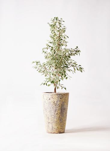 観葉植物 フィカス ベンジャミン 8号 スターライト アトランティス クルーシブル 付き