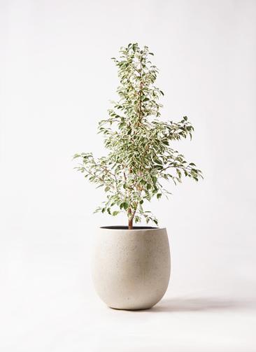観葉植物 フィカス ベンジャミン 8号 スターライト テラニアス バルーン アンティークホワイト 付き