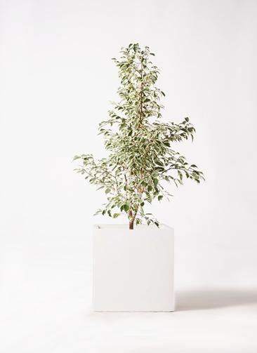観葉植物 フィカス ベンジャミン 8号 スターライト バスク キューブ 付き