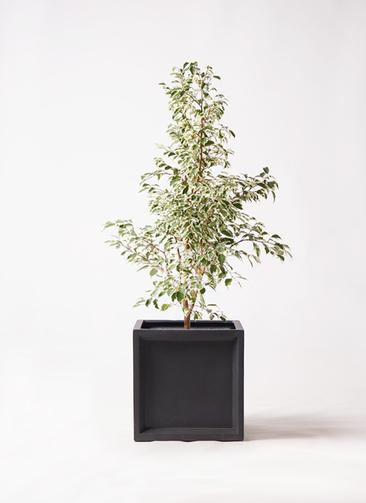 観葉植物 フィカス ベンジャミン 8号 スターライト ブリティッシュキューブ 付き
