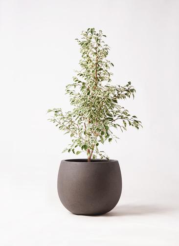 観葉植物 フィカス ベンジャミン 8号 スターライト テラニアス ローバルーン アンティークブラウン 付き