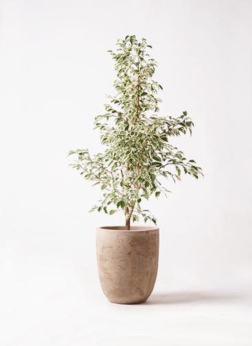 観葉植物 フィカス ベンジャミン 8号 スターライト ルーガ アンティコ アルトエッグ 付き