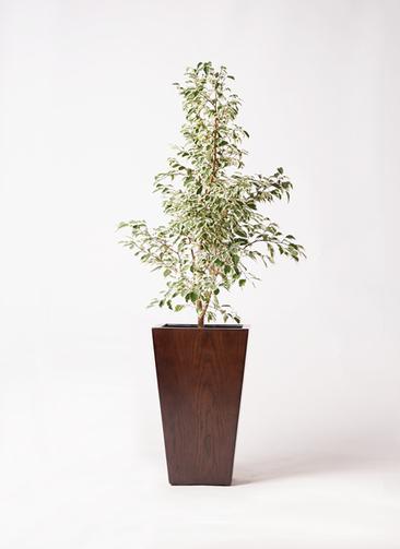 観葉植物 フィカス ベンジャミン 8号 スターライト MOKU スクエア 付き
