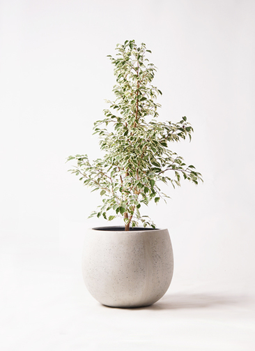 観葉植物 フィカス ベンジャミン 8号 スターライト テラニアス ローバルーン アンティークホワイト 付き