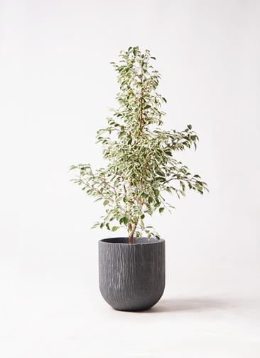 観葉植物 フィカス ベンジャミン 8号 スターライト カルディナダークグレイ 付き