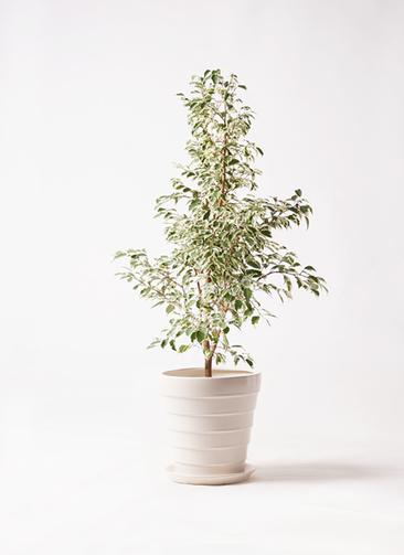 観葉植物 フィカス ベンジャミン 8号 スターライト サバトリア 白 付き