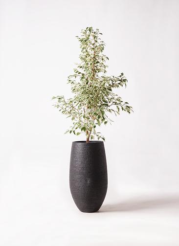 観葉植物 フィカス ベンジャミン 8号 スターライト フォンティーヌトール 黒 付き