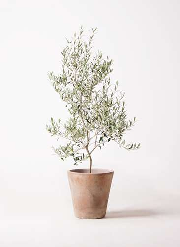 観葉植物 オリーブの木 8号 アルベキーナ ルーガ アンティコ ソリッド 付き